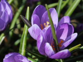 crocus blossom close-up